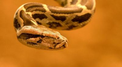 15 maiores cobras do mundo para você se impressionar