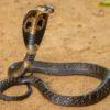 15 cobras mais venenosas do mundo e do Brasil para conhecer